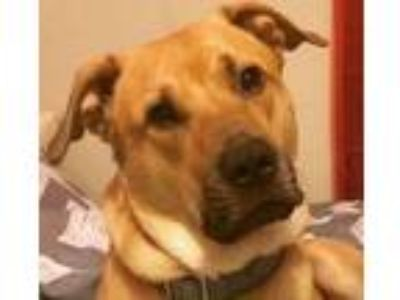 Adopt Lincoln a Red/Golden/Orange/Chestnut Labrador Retriever / Mixed dog in