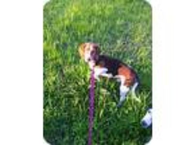 Adopt Jeb a Brown/Chocolate - with White Beagle / Mixed dog in Baton Rouge