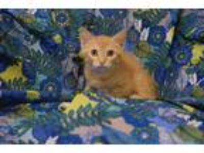 Adopt Ruporta a Domestic Shorthair / Mixed cat in Westmont, IL (25354121)