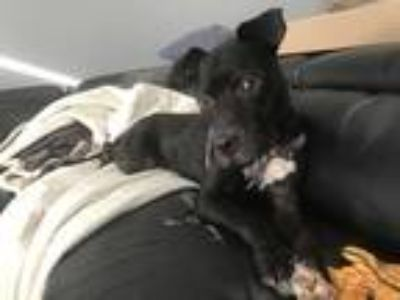 Adopt Percy a Black - with White Boxer / Labrador Retriever / Mixed dog in Rocky