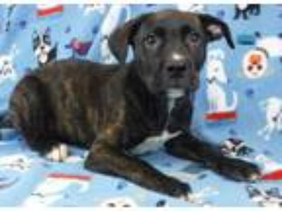 Adopt Gypsy a Brindle Retriever (Unknown Type) / Boxer / Mixed dog in Morton