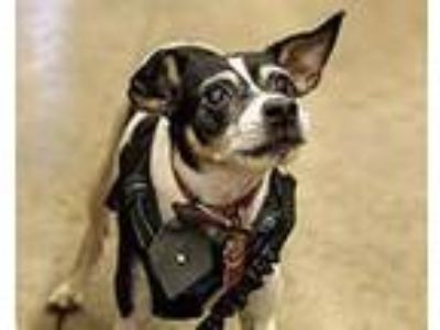 Adopt Prince the Rat Terrier a Rat Terrier / Mixed dog in Chantilly