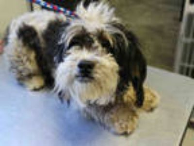 Adopt STEVEN TYLER a White - with Black Shih Tzu / Mixed dog in Redlands