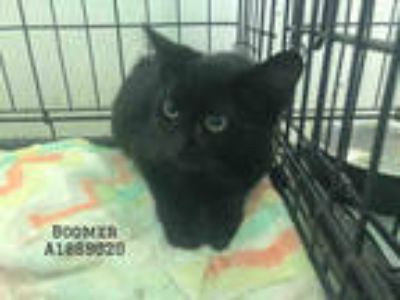 Adopt BOOMER a All Black Domestic Shorthair / Mixed (short coat) cat in