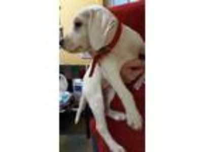 Adopt Wanda a White Labrador Retriever / Treeing Walker Coonhound / Mixed dog in