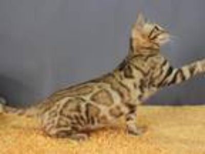 Bengals Male & Female Kittens