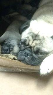 Pug PUPPY FOR SALE ADN-85363 - PUG PUPPIES