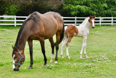 Very Sweet Beautiful Bay JC, TB Broodmare, RPSI main mare book produced loud Tobiano RPSI Silver Premium Colt