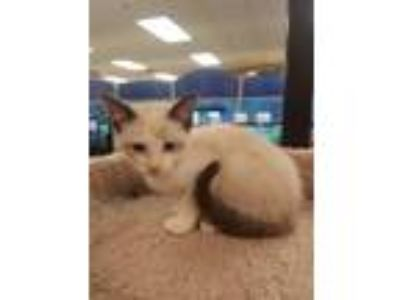 Adopt Aries a Tan or Fawn (Mostly) Siamese (short coat) cat in Kennesaw