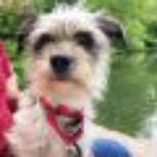 Selena Gomez Cairn Terrier Dog