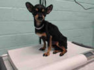 Adopt PENNY a Black - with Tan, Yellow or Fawn Miniature Pinscher / Mixed dog in
