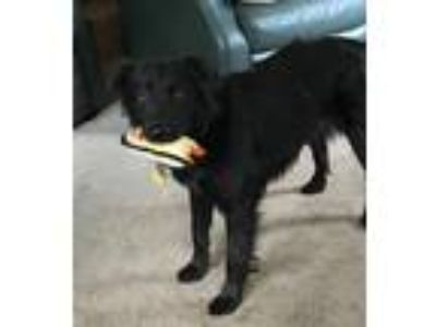 Adopt Sophie a Black Flat-Coated Retriever / Chow Chow dog in New City