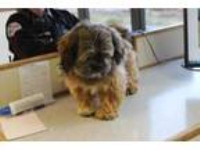 Adopt Bobby a Tan/Yellow/Fawn Lhasa Apso / Mixed dog in Albany, OR (25296330)