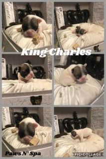 French Bulldog PUPPY FOR SALE ADN-90715 - Champion Sired French Bulldogs AKC Registered