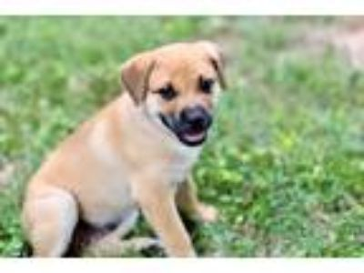 Puppy - For Sale Classifieds in Chesapeake, Virginia - Claz org