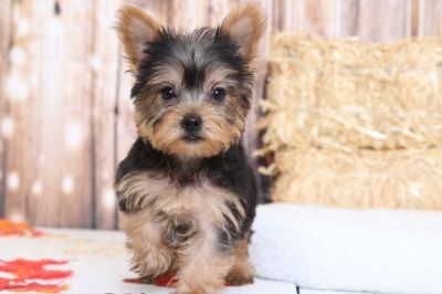 Yorkshire Terrier PUPPY FOR SALE ADN-98781 - Olive Appealing Little Female Yorkie Puppy