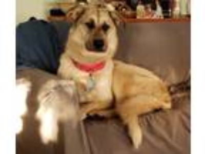 Adopt Chica a White - with Gray or Silver German Shepherd Dog / Great Pyrenees /