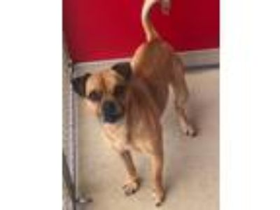 Adopt Gnome a Pug / Mixed dog in Angola, IN (25189762)
