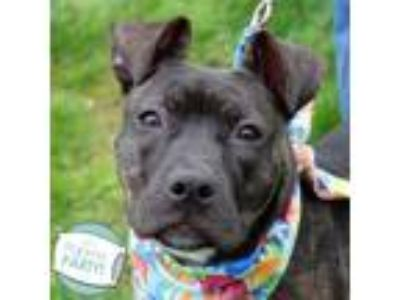Adopt Cookie a Brindle American Pit Bull Terrier / Mixed dog in Ann Arbor