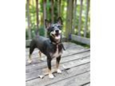 Adopt Willy a Black - with Tan, Yellow or Fawn Mixed Breed (Medium) dog in