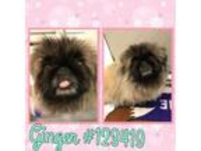 Adopt 123419 a Brown/Chocolate - with Black Pekingese / Mixed dog in Olympia