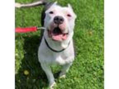 Adopt Ghost a White American Pit Bull Terrier / Mixed dog in Janesville
