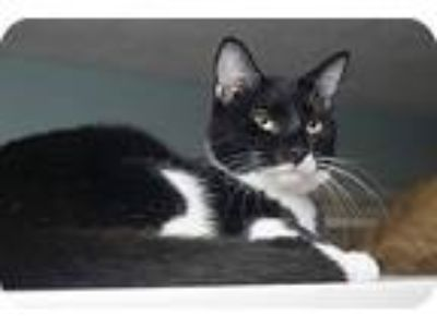 Adopt Scout a Black & White or Tuxedo Domestic Shorthair (short coat) cat in New