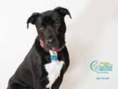 Adopt ROCKY a Black - with White Labrador Retriever / American Pit Bull Terrier
