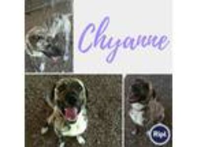 Adopt Chyanne a Catahoula Leopard Dog / Mixed dog in Fayetteville, AR (25442766)