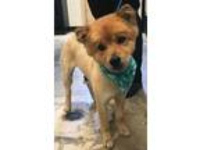 Adopt Alice a Chow Chow