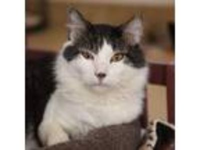 Adopt Osbourne a Domestic Medium Hair