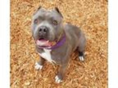 Adopt DARWIN a Gray/Silver/Salt & Pepper - with White American Pit Bull Terrier