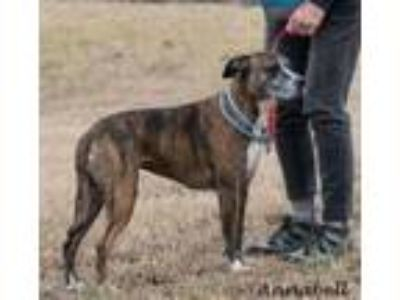 Adopt Annabell in Gloucester VA a Boxer