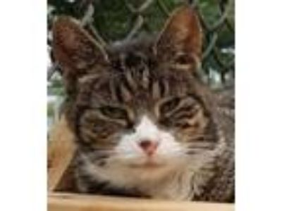 Adopt Irma a Domestic Short Hair, Tabby