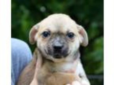 Adopt Janae a Brown/Chocolate - with Tan Pug / Boston Terrier / Mixed dog in