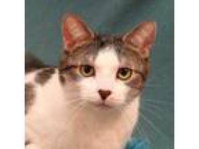 Adopt FLIPPY a White Domestic Shorthair / Domestic Shorthair / Mixed cat in