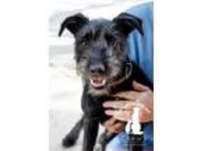 Adopt Ruth a Schnauzer, Border Collie