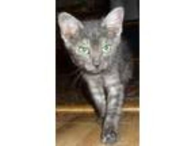 Adopt Emerald a Gray, Blue or Silver Tabby Bengal (short coat) cat in Dallas