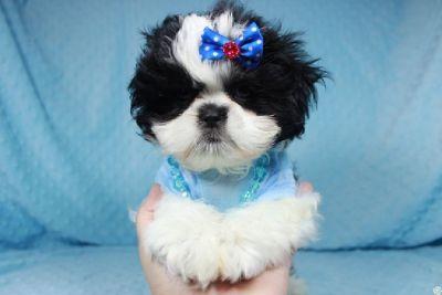 Parti Shihtzu puppy in Las Vegas!