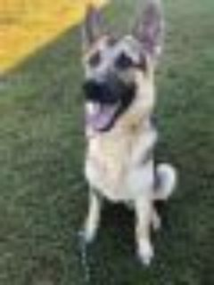 Dooly 1264-18 German Shepherd Dog Dog