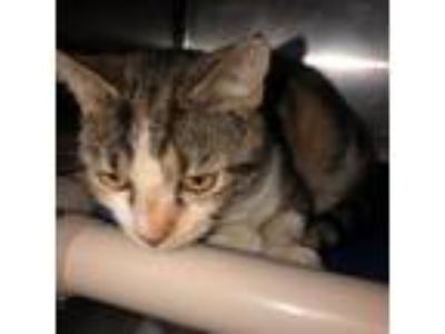 Adopt Itty a Calico or Dilute Calico Domestic Shorthair cat in Roanoke