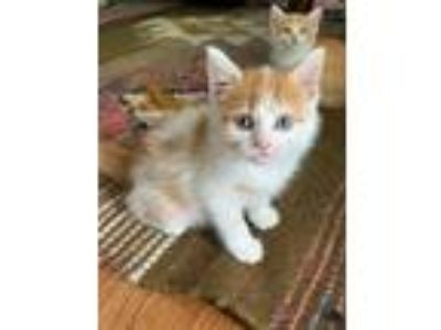 Adopt Goldfish a White Domestic Shorthair / Domestic Shorthair / Mixed (short