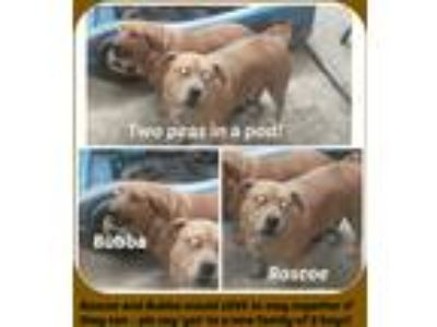 Adopt BUBBA & ROSCOE a Red/Golden/Orange/Chestnut Dachshund / Basset Hound /