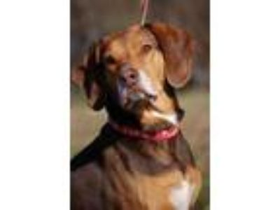 Adopt Daisy Mae a Brown/Chocolate Beagle / Hound (Unknown Type) / Mixed dog in