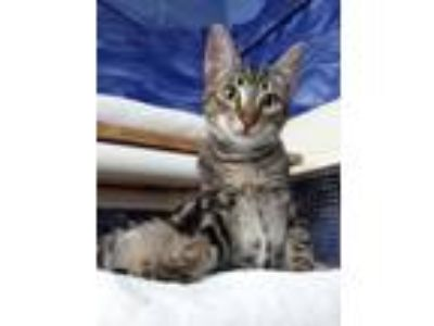Adopt Champion a Domestic Shorthair / Mixed (short coat) cat in Ft.