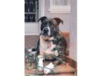 Adopt Gunner a Brindle Catahoula Leopard Dog / American Pit Bull Terrier dog in