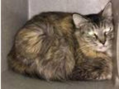 Adopt Lilly a Domestic Medium Hair, Domestic Short Hair