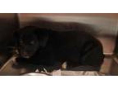 Adopt ROBIN a Black Labrador Retriever / Mixed dog in Clinton, NC (25544090)