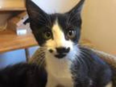 Adopt Bupkis a Black & White or Tuxedo Domestic Shorthair / Mixed cat in Battle