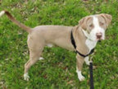 Adopt REX a Brown/Chocolate American Pit Bull Terrier / Mixed dog in Austin